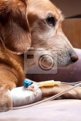 Hund liegt auf dem Bett mit Kanüle in der Vene Infusion nimmt