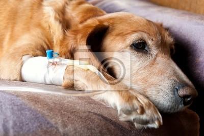 Hund liegt auf dem Bett mit Kanüle in der Vene Nahme Infusion