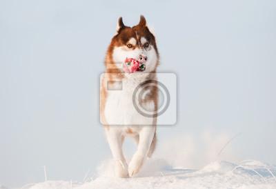 Hund Siberian Husky läuft im Schnee