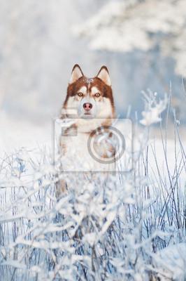 Hund Siberian Husky Porträt im Winter