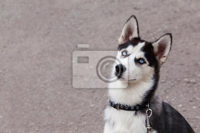 Hundewelch Rasse Sibirischer Husky Fototapete Fototapeten
