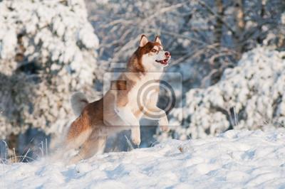 Husky-Hund springt in den Schnee