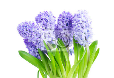 Fototapete Hyacinth blue flowers with green leaves isolated on white background