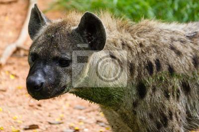 Hyäne in Kenia, Afrika