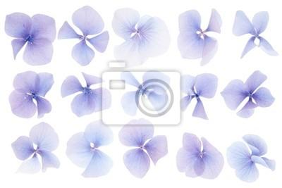 Hydrangea Blume Sammlung auf weißem Hintergrund