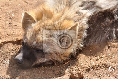 hyène rayée, sieste