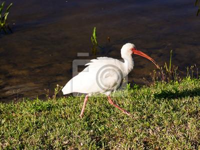 ibis vogel in florida immer auf der suche nach nahrung fototapete