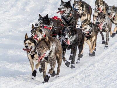 Fototapete Iditarod Schlittenhunde