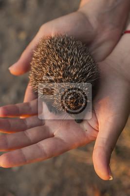 Fototapete Igel Baby In Der Hand Glücklicher Igel Der Stachelige Freund