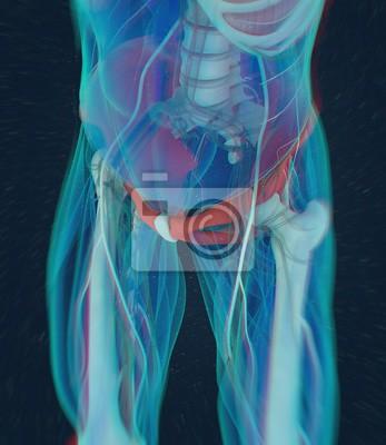Iliumknochen, menschliche anatomie. 3d abbildung. fototapete ...