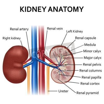 Ungewöhnlich Niere Anatomie Und Physiologie Video Bilder - Anatomie ...