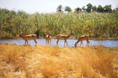 Fototapete Impala, Aepyceros melampus, Bwabwata-Nationalpark, Namibia