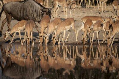 Fototapete Impala (Aepyceros melampus) del Timbavati Naturschutzgebiet in Südafrika