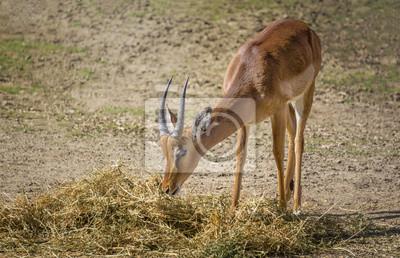Impala beim Fressen