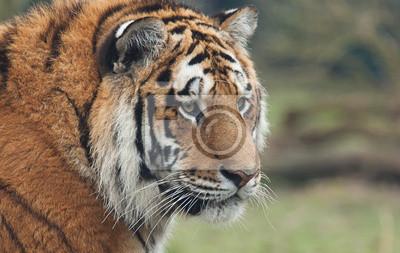 Indischer Tiger Portrait 6811