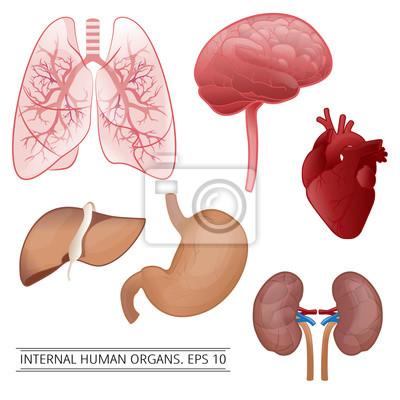 Interne menschliche organe: leber, lunge, herz, magen, nieren ...