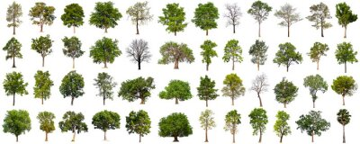 Fototapete isolated big tree collection isolated on white