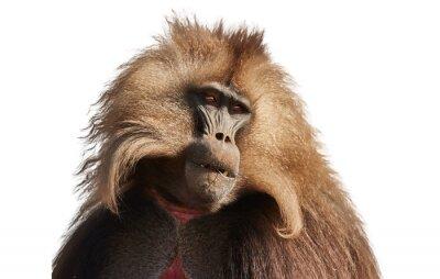 Fototapete Isolated on white, portrait of hairy monkey Gelada Baboon - Theropithecus gelada. Beautiful high mountaneos endemic primate, wild animal from unesco site Simien mountains. Traveling Ethiopia.