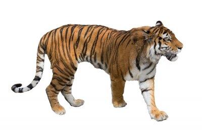 Fototapete isoliert auf weißem großen Tiger