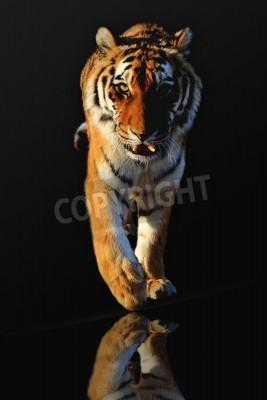Fototapete isoliert Tiger auf schwarzem