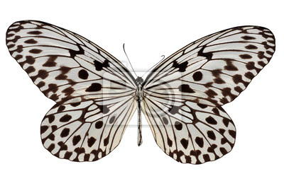 Isolierte weißen und schwarzen Schmetterling (malaiische Baum Nymphe)