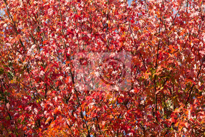 Japanese maple tree outumn red leaves