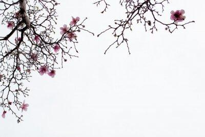 Fototapete Japanische Magnolienblüten auf weißem Hintergrund