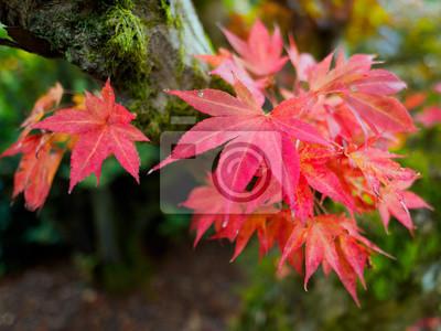 fototapete japanischer ahorn acer palmatum in herbstfarben