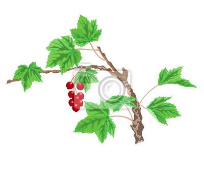 Johannisbeere Zweig mit roten Beeren
