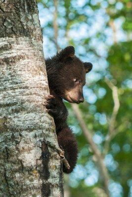 Fototapete Junge Schwarzbär (Ursus americanus) Auf Seite des Baumes