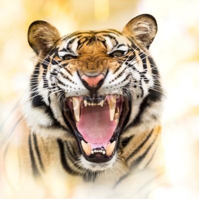Fototapete Junge Sibirische Tiger in Aktion von Knurren