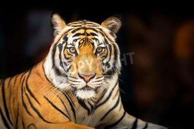 Fototapete Junge sibirischen Tiger auf dunklem Hintergrund in Aktion der Blick auf die Kamera