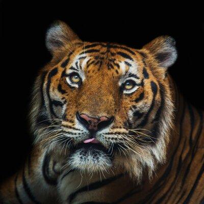 Fototapete Junge Sumatran Tiger gehen aus Schatten / Tiger