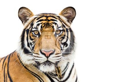 Fototapete Junge Tiger isoliert auf weißem Hintergrund