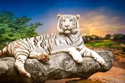 Fototapete Junge weiße Bengal Tiger in der Akt der Entspannung auf Stein bei natürlichen Sonnenuntergang Hintergrund