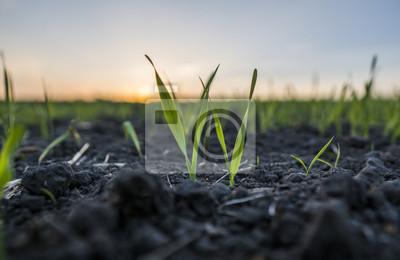 Fototapete Junge Weizensämlinge, die auf einem Gebiet wachsen. Grüner Weizen, der im Boden wächst. Schließen Sie oben auf dem keimenden Roggen, der auf einem Feld im Sonnenuntergang landwirtschaftlich ist. Spros