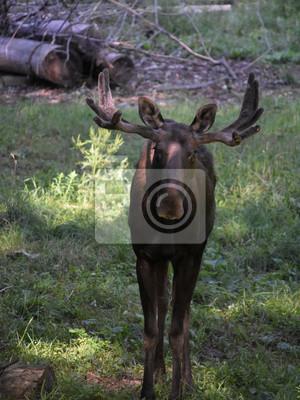 Junger elch mit einem gestell von geweihen in einer reinigung ...