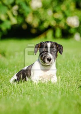 Im Russel Hund Garten Jack Welpe Fototapete Junger ywvmn0ON8
