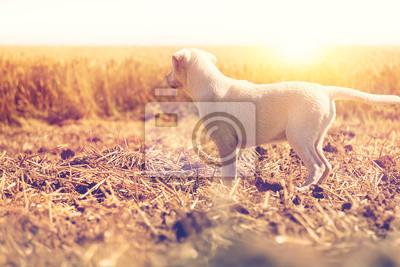 Junger Hund - Labrador Welpe - steht bei Sonnenuntergang auf einem Feld und schaut in der Ferne