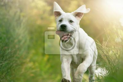 Junger Labrador Welpe auf einer Wiese in der Sonne mit heraushängender Zunge - Hund in Aktion