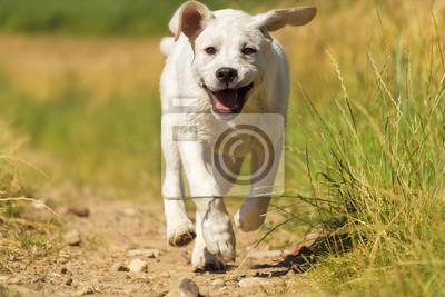 Junger Labrador Welpe auf einer Wiese in der Sonne mit Lachendem Gesicht - Lustiger Hund in Aktion
