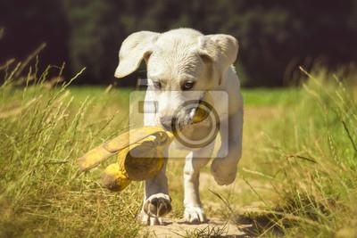 Junger Labrador Welpe rennt auf einem Feldweg abends mit einem Spielzeug im Maul mit dem Blick nach vorne