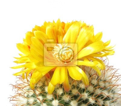Kaktusblüte parodia mutabilis auf weiß fototapete • fototapeten bur ...