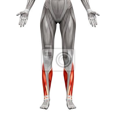 Kalb muskeln - anatomie muskeln isoliert auf weiß fototapete ...