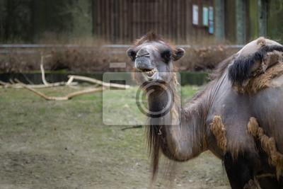 Kamel oder Dromeda mit lustigem Gesicht