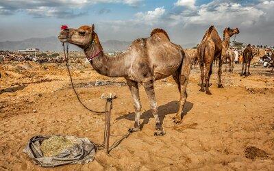 Fototapete Kamele an der Pushkar Mela Kamel-Messe, Indien