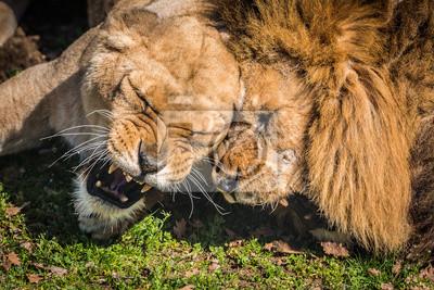 Kampf entre un lion et une lionne