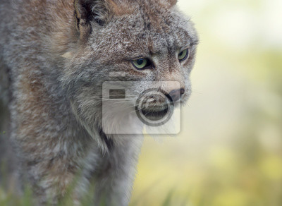 Kanada Lynx