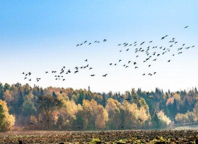 Fototapete Kanadische Gänse Migration