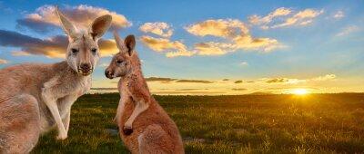 Fototapete kangaroo with sunset Australia outback